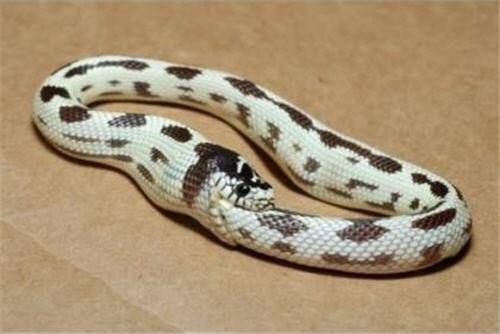 Snake eating it self